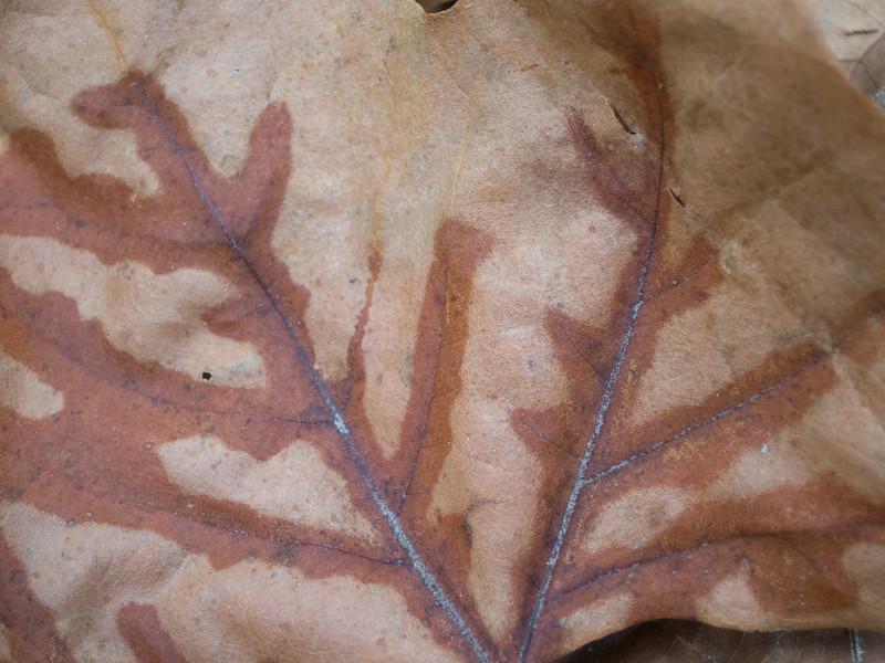 20141021 (1517) - fallen autumn leaf w strong veins, Leigh Farm Park, Durham NC