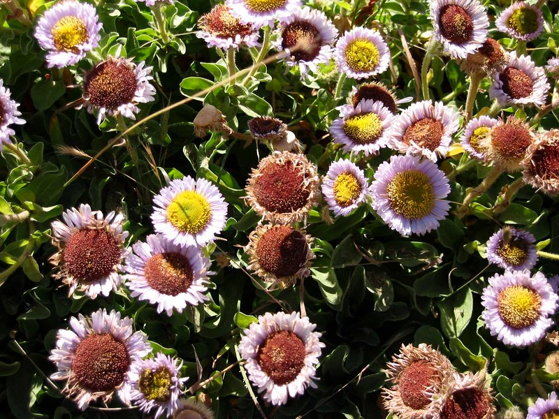 Daisies at PtReyes California