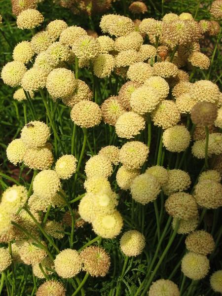 pale yellow pincushion-like flowers - Duke Gardens