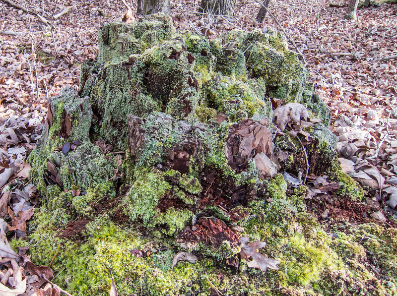 20140101 (1450) - mossy tree stump, Eno River State Park, Durham NC