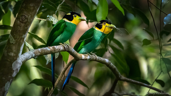 Long-tailed Broadbills