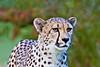 Cheetah Gal