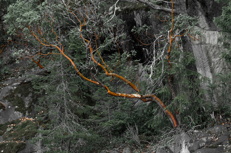 Arbutus Tree (image was desaturated in Adobe Lightroom)