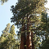 Family Group; Giant Forest, Sequoia National Park
