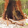 General Grant Tree; General Grant Grove, Kings Canyon National Park<br /> <br /> The grove that includes the General Grant tree is in Kings Canyon National Park.  This tree has the widest base known with a diameter of 40.3 feet (12.28 meters).  It is about 1500-2000 years old.<br /> <br /> The General Grant tree has been burned many times, but continues to thrive. The forest will naturally burn every 10 years or so. The bark, which can be as much as 3 feet thick near the base, helps protect the tree from these fires.