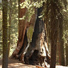 Giant Sequoia; Giant Forest, Sequoia National Park<br /> <br /> Fires and lichen working on an old sequoia create natural sculpture.