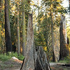 A Memory; Kings Canyon National Park<br /> <br /> Who knows when or how this tree died?
