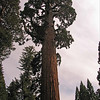 General Grant Tree; General Grants Grove, Kings Canyon National Park<br /> <br /> The General Grant tree, at 269 feet, is the 2nd tallest sequoia (after the General Sherman tree).  In a monarch tree such as this, the lowest branch might be as much as 160 feet up.