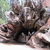 Fallen Monarch; General Grant Grove, Kings Canyon National Park <br /> <br /> No on knows when this tree fell, but photos show that there has been little decay in the last 100 years. <br /> <br /> You can get some perspective from the view of the people inside the log.  Before the national park was established, this log was used as a shelter and campsite - and even for a time as a hotel and saloon.  The U.S. Cavalry once used it as a stable for 32 horses. <br /> <br /> The roots of the giant sequoia are very long and shallow - they may stretch for 50 feet or so, all within a few feet of the surface.  This helps them collect moisture during the long dry summers. However, it also means that they can fall down easily if the roots are damaged or the soil is eroded away.