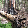 Giant Sequoia; North Grove, Kings Canyon National Park;<br /> <br /> The Giant Sequoia depend upon fire to live. They like to have plenty of sunlight, water, and mineral-rich soil to grow.  Frequent fires keep out competing trees and plants while adding easily digestible minerals to the soil.  <br /> <br /> The heat of a forest fire opens up the sequoia seeds, which then fall to germinate on hospitable soil.