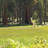 Crescent Meadow, Sequoia National Park<br /> <br /> The sequoia like growing right next to the wet meadow.