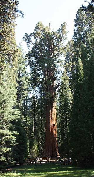 General Sherman tree; Giant Forest, Sequoia National Park<br /> <br /> The main attraction for visitors to the Kings Canyon and Sequoia National Parks are the Giant Sequoia.  These trees grow in a narrow altitude band between 5000 and 7500 feet (1524 - 2286 m).  The biggest ones are the largest trees on earth, and are among the oldest.<br /> <br /> This is the biggest tree in the world.  It is 275 feet tall (84 m), and has a trunk volume of  52972 cubic feet(1500 cubic meters).  Every year it grows a millimeter all around, which means that each year it adds enough wood to make an entire 60-foot tall (18.3 m) ordinary tree.