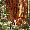 Family Group, merged base; Giant Forest, Sequoia National Park<br /> <br /> This is three trees that have grown together to form a single trunk at the base.  The picture shows well the beautiful cinnamon colored bark of the old sequoias.