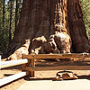 General Sherman Tree; Giant Forest, Sequoia National Park<br /> <br /> This tree started life about 2500 years ago at the time of the Persian Empire.  If you look closely behind and to the right of the tree, you will see a very small person.