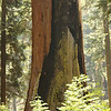 Giant Sequoia; Giant Forest, Sequoia National Park<br /> <br /> Over time fires may burn the heartwood of the tree, but as long as the living layers just under the bark, which transport water and nutrients,  are there, the tree can keep on living.