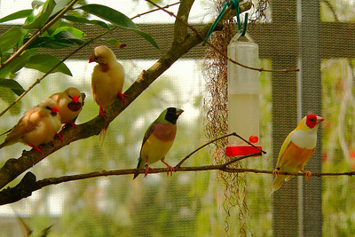 Shafttail Finches (left)