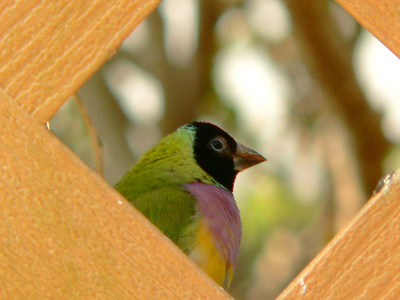 Lady Gouldran Finch