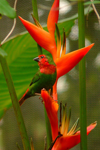Red-headed Parrot Finch