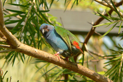 Tri-colored Parrot Finch