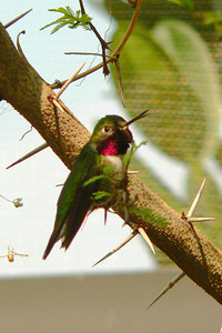 Broadtail Hummingbird