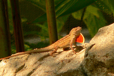 Brown Anole displaying throat fan