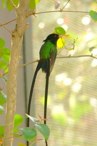 Jamaican Streamertail Hummingbird