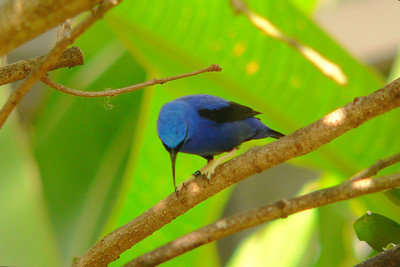 Yellow-legged Honeycreeper