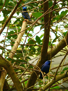 Red-legged Honeycreeper (top left), Yellow-legged Honeycreeper (bottom right)
