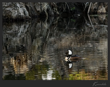 The mergansers are really quite shy and it's kind of fun to watch how they swim around trying to put as much space between themselves and the people on the trails. People on two sides they can handle fairly well, but three sides and they're off to find another pond.