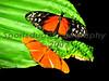 Buttlerflies #1