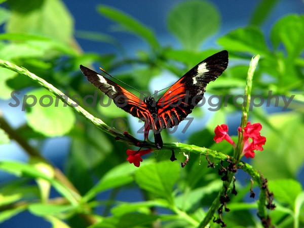 Buttlerflies #3