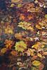 Wet leaves (S Mtn Reservation- Sun 11 9 08)