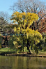 Weeping willow (Central Park- Sun 11/13/10)