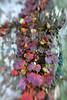 Colorful vine (Central Pk- Sun 11 15 09)
