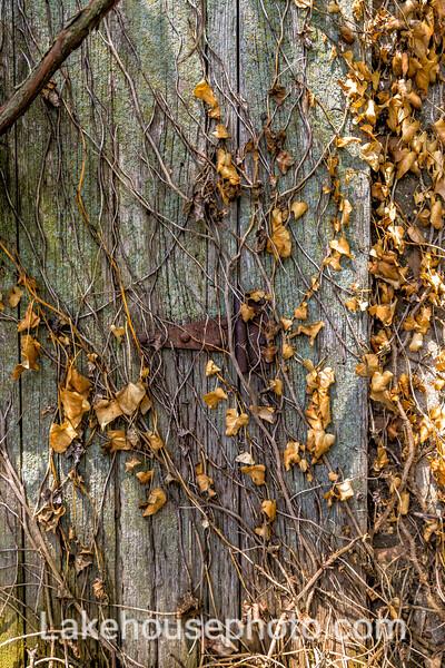 Golden Ivy