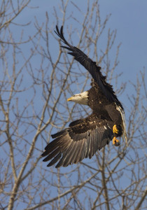 for a photographer the landing and take-off are the best and most difficult time to catch a eagle.