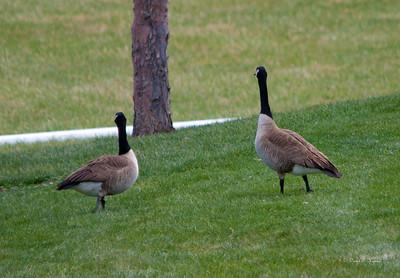 Geese keeping watch