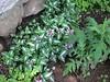 Lamium maculatum (Dead Nettle) and Echinops (Globe Thistle).