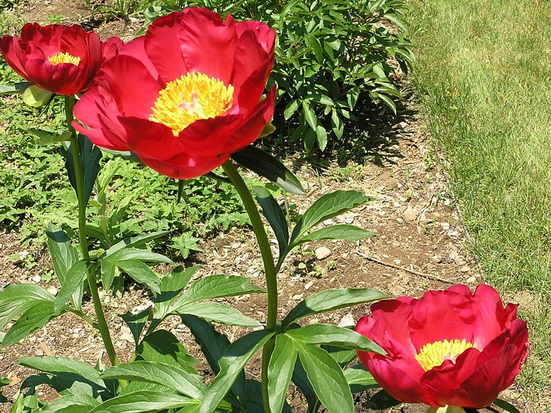 All three blossoms of the Cherry Peony bush.