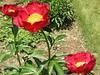 All three blossoms of the Cherry Peony bush.