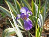 Iris pallida dalmatica 'Variegata'.