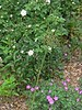 An Alba rose  - sold in 1993 as Mme. Legras de St. Germain, but it is more probably Felicite Parmentier. On the ground: Geranium sanguineum and an allium now going to seed.