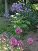 Foreground: Alliums, middle: ground rose; Background: Dames Rocket (Hesperis Matronalis.