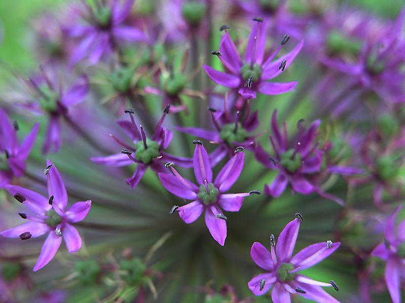 Florets of Allium aflatunense.