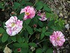 Rosa gallica versicolor - Rosamundi - the Fair Rosamund.