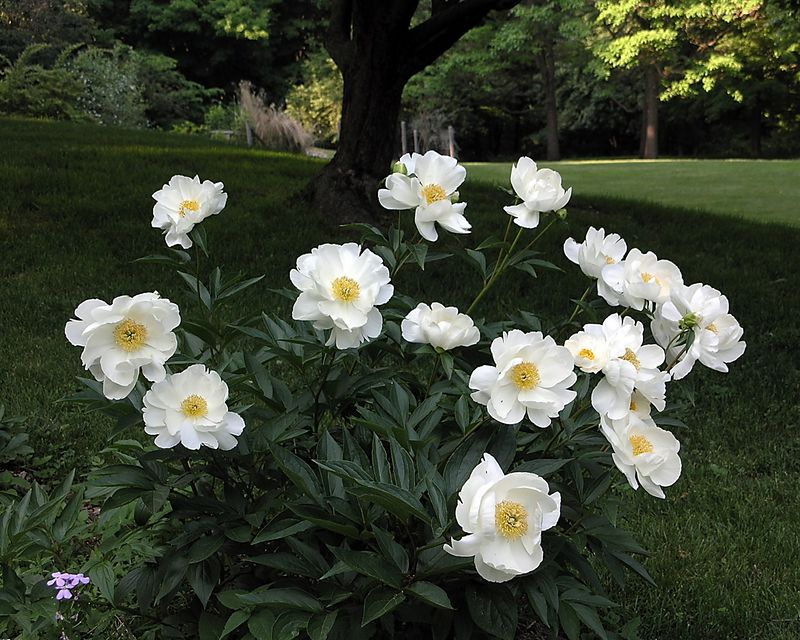 Krinkled White peonies - perfection!