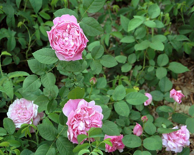 David Austin rose Mary Rose.