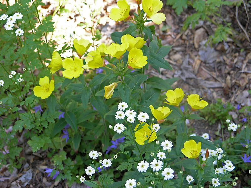 Evening Primrose (Oenothers youngi) and Feverfew (Matricaria).