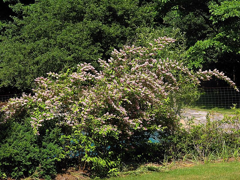 A pink Deutzia shrub near the pool. The photo is here as a record of it's rather prodigious growth