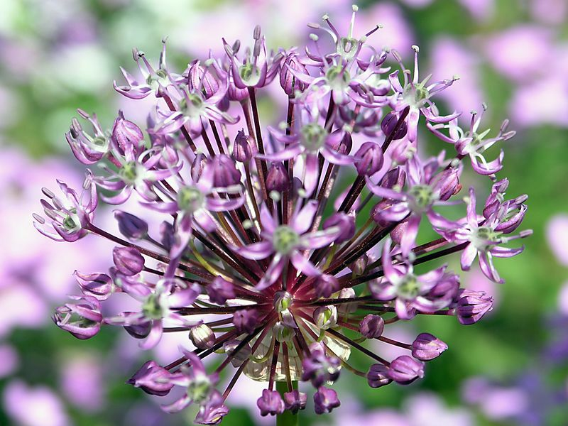 Allium head.